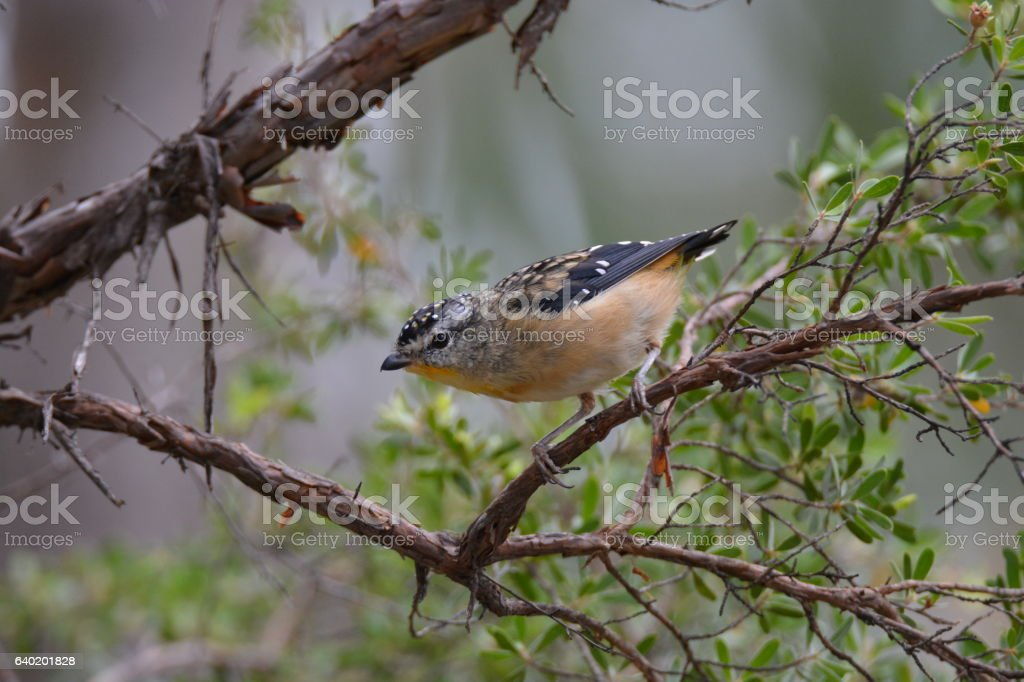 Spotted Pardalote stock photo