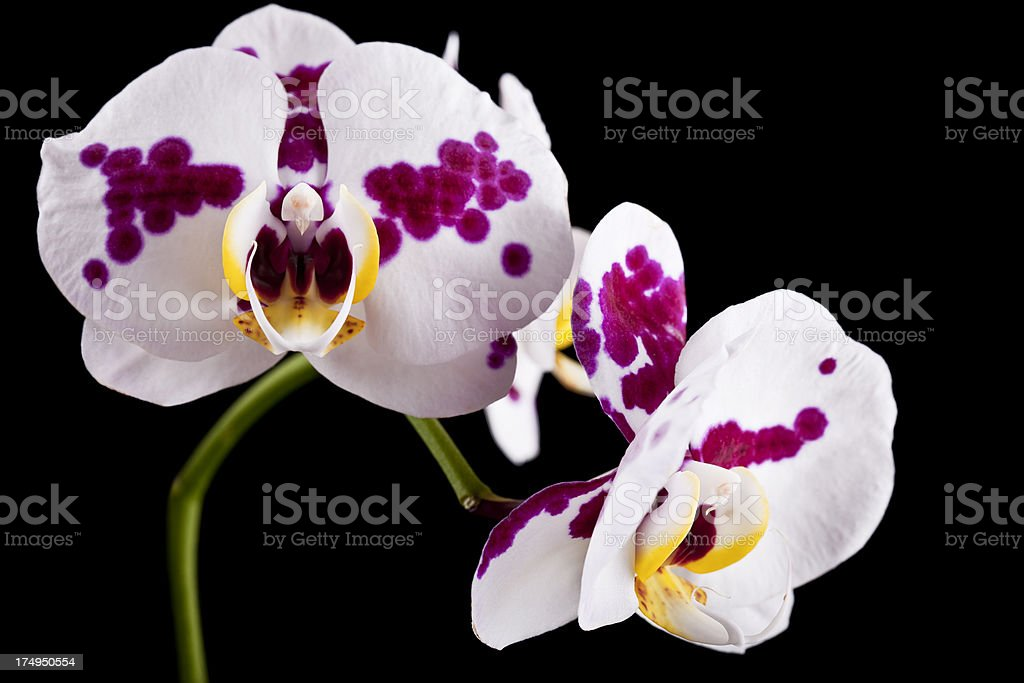 Spotted Phalaenopsis royalty-free stock photo