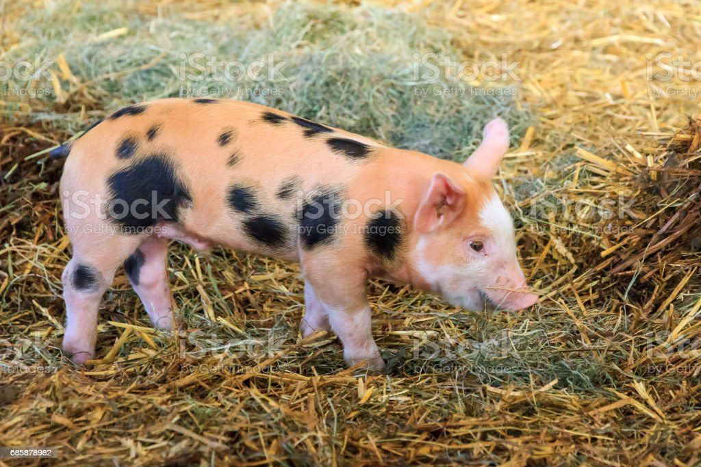 Spotted piggy stock photo