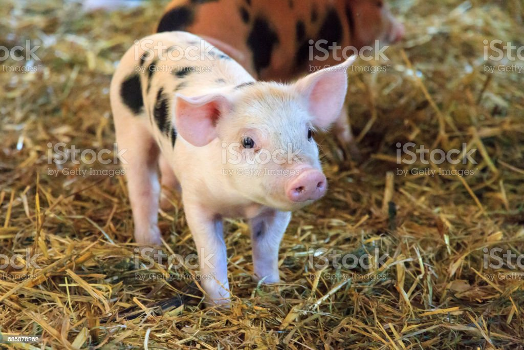 Spotted piglet stock photo