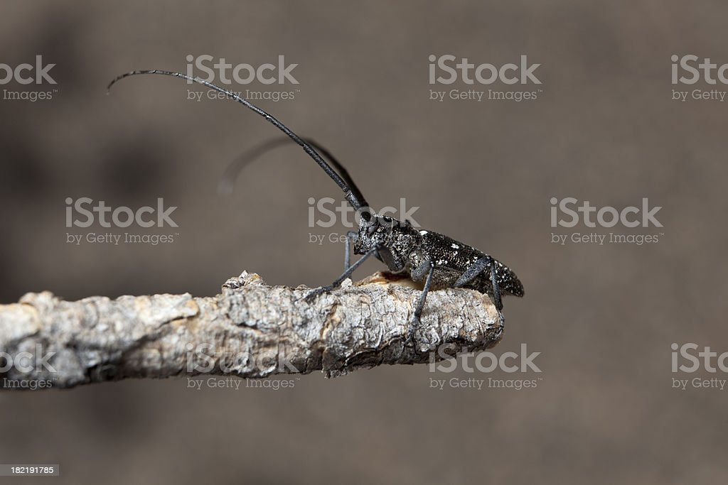 Spotted Pine Sawyer Beetle, Colorado stock photo