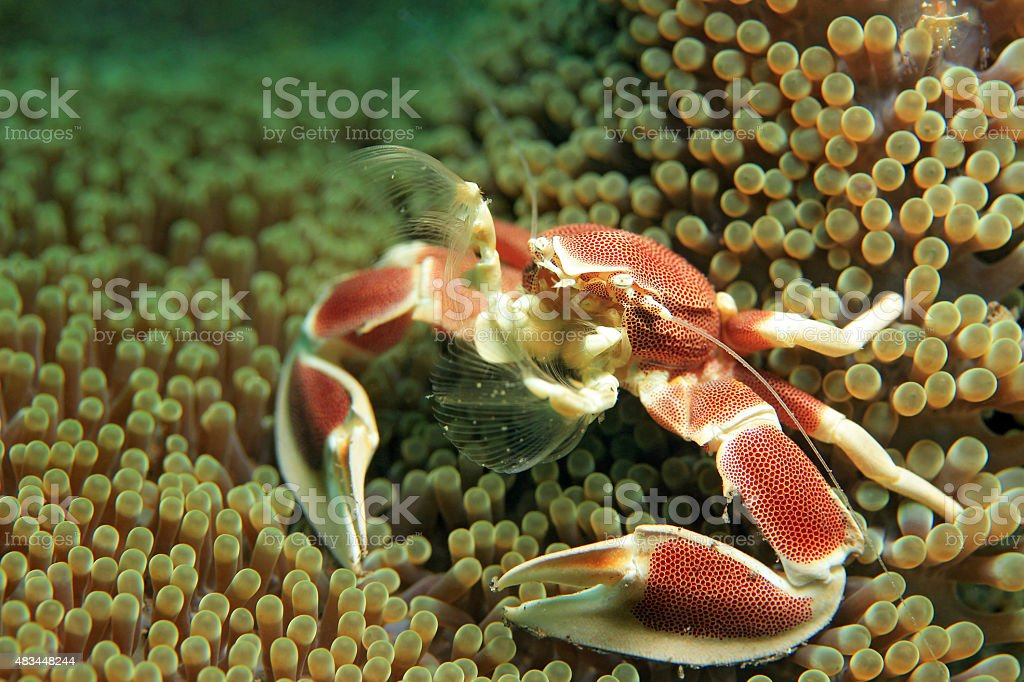 Spotted Porcelain Crab stock photo