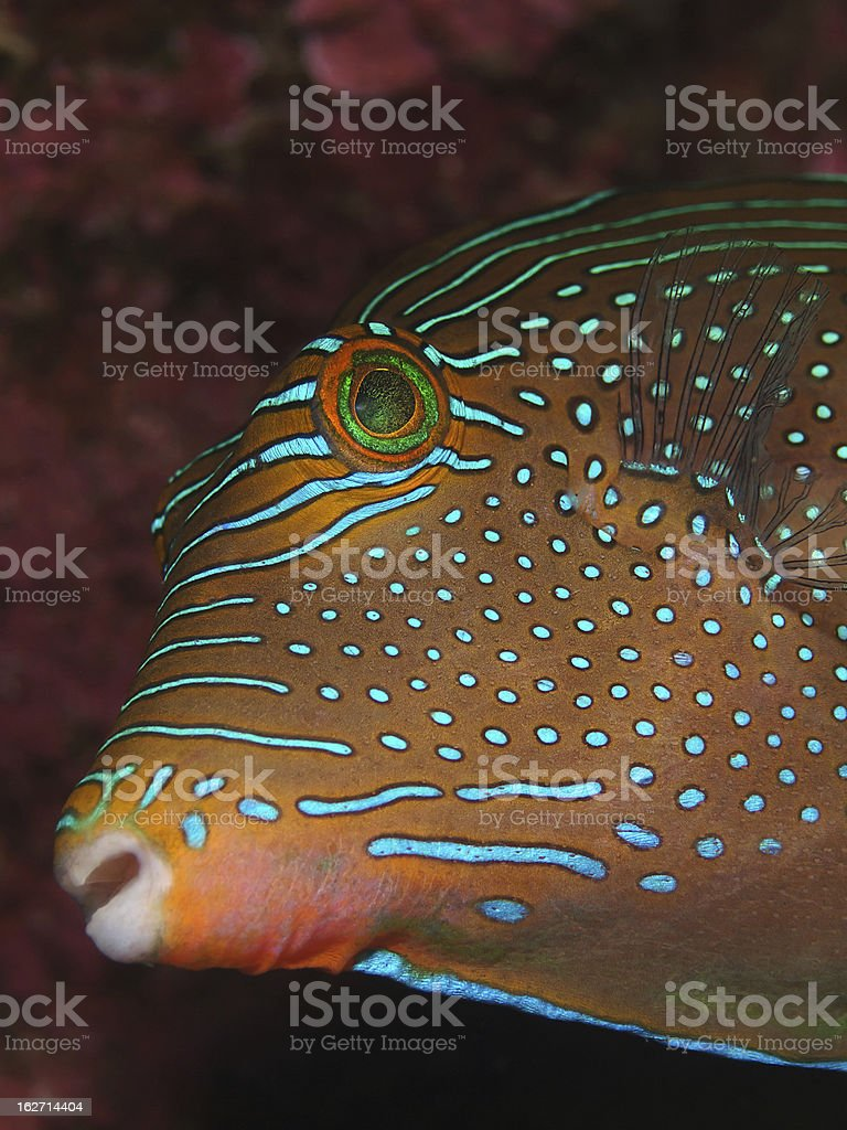 Spotted puffer fish (Canthigaster solandri) stock photo