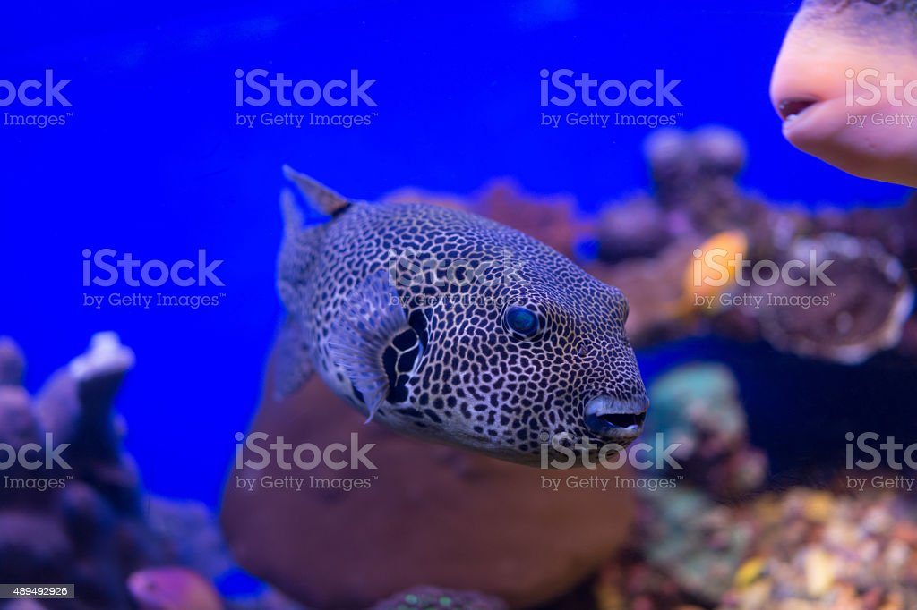 Spotted puffer fish underwater. stock photo