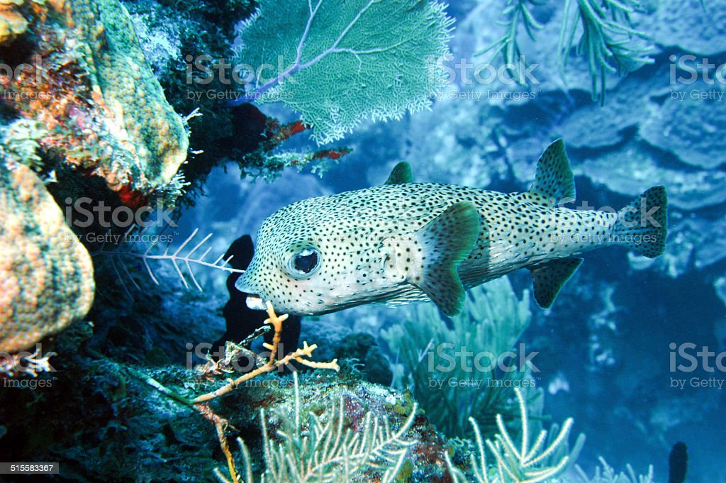 Spotted pufferfish (Tetraodontidae) stock photo