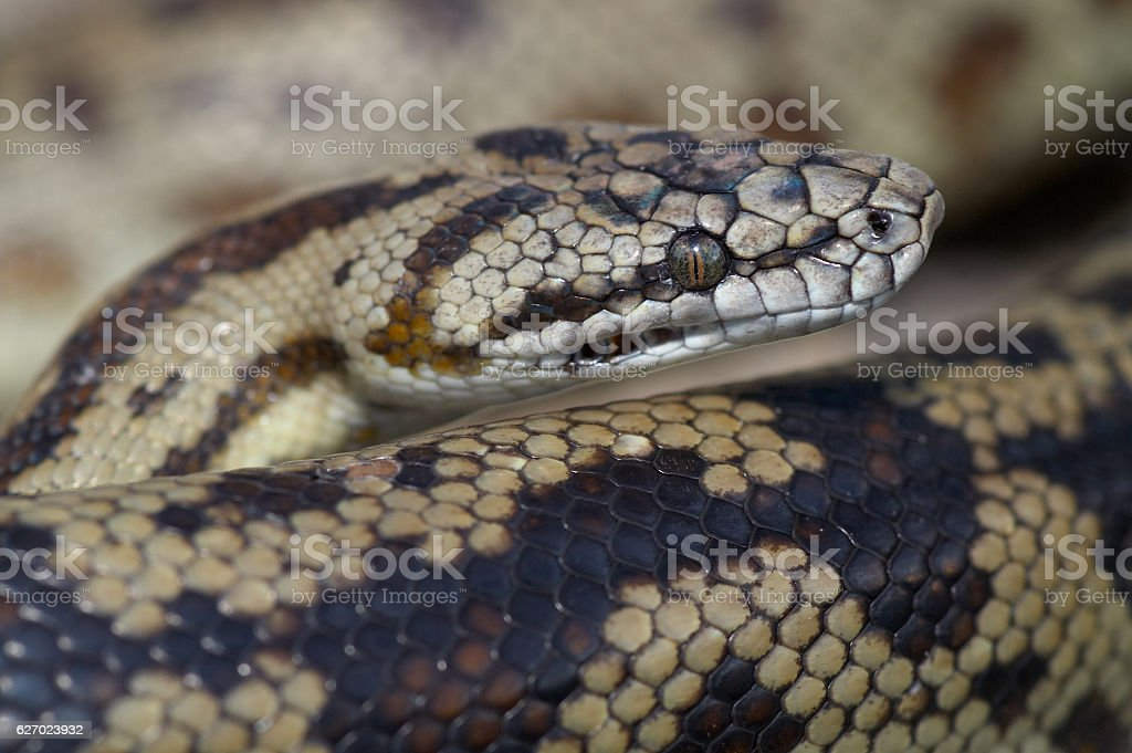 Spotted Python stock photo