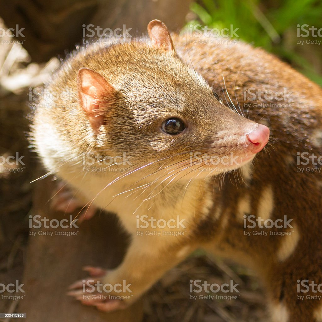 Spotted Quoll stock photo