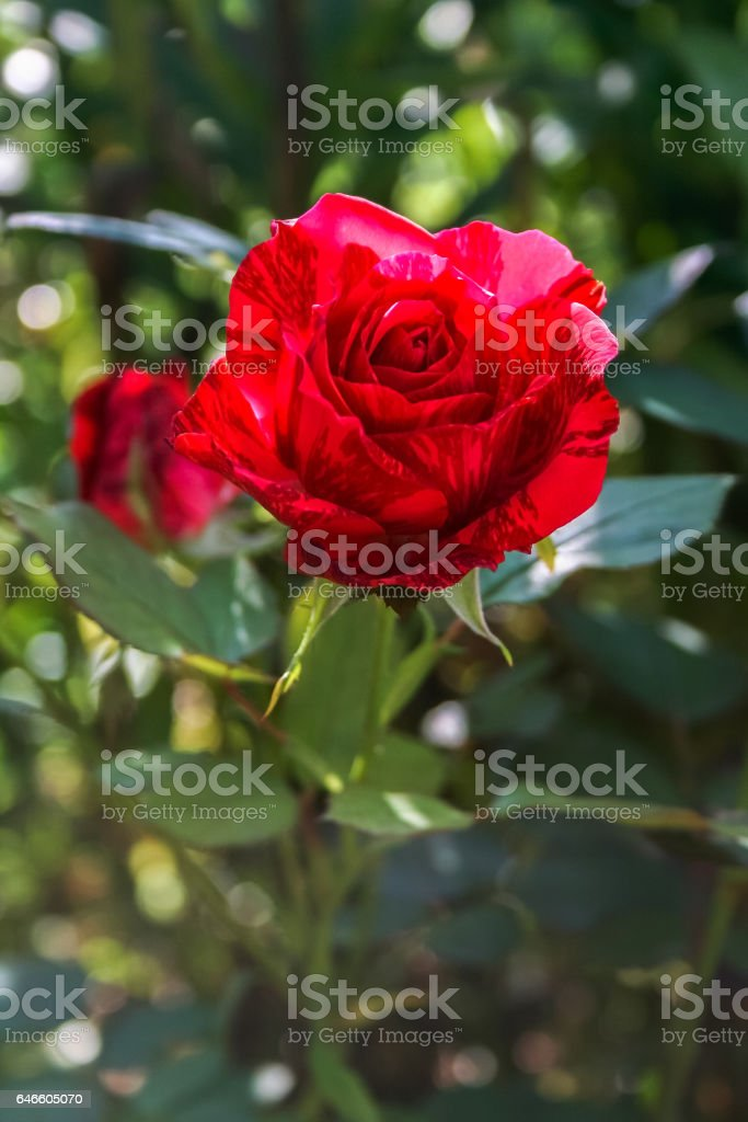 Spotted red rose on green foliage background. stock photo