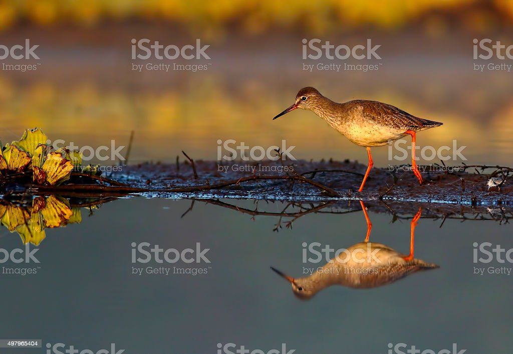 Spotted Red shank stock photo