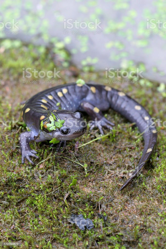 Spotted Salamander Coming Out of Pond royalty-free stock photo