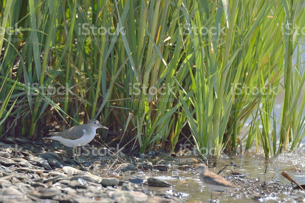 Spotted Sandpiper in Marsh stock photo