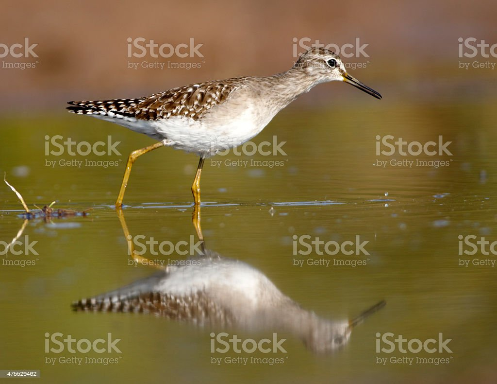 Spotted sandpiper with reflection stock photo
