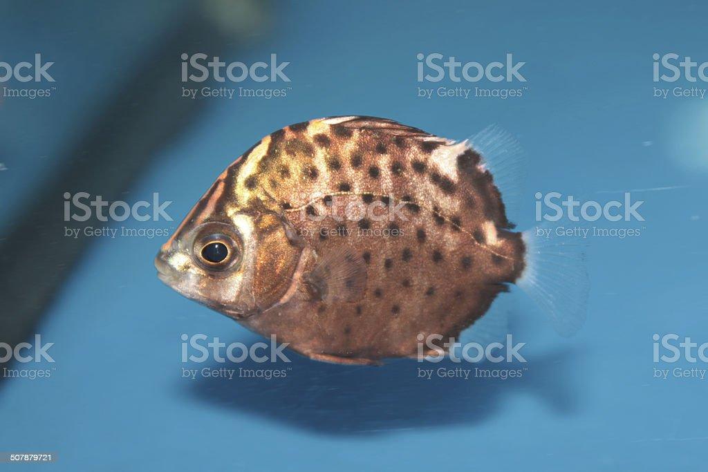 Spotted scat (Scatophagus argus) saltwater aquarium fish stock photo