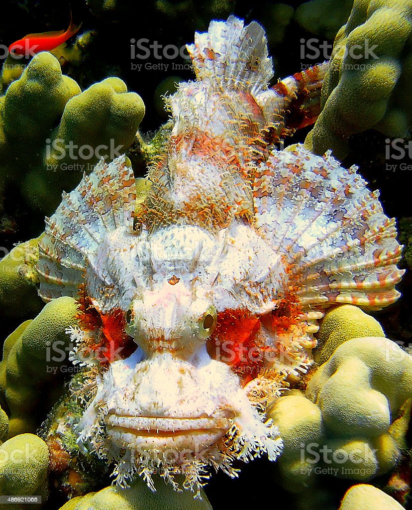 Spotted Scorpionfish (scorpaena plumieri) - Devil fish stock photo