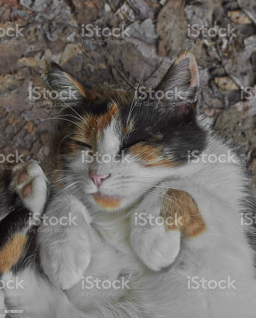 spotted sleeping cat royalty-free stock photo