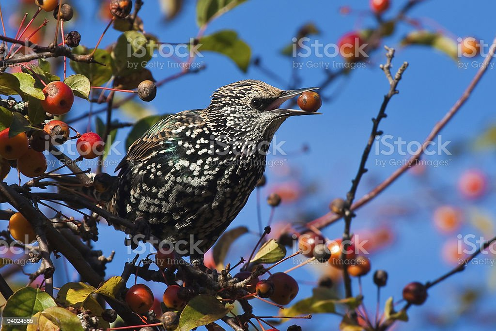 Spotted starling eating fruits in an apple tree royalty-free stock photo