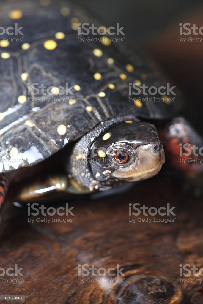 Spotted Turtle royalty-free stock photo