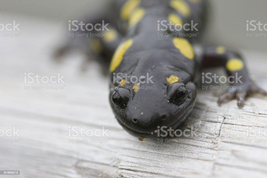 Spotter Salamander Close-up stock photo