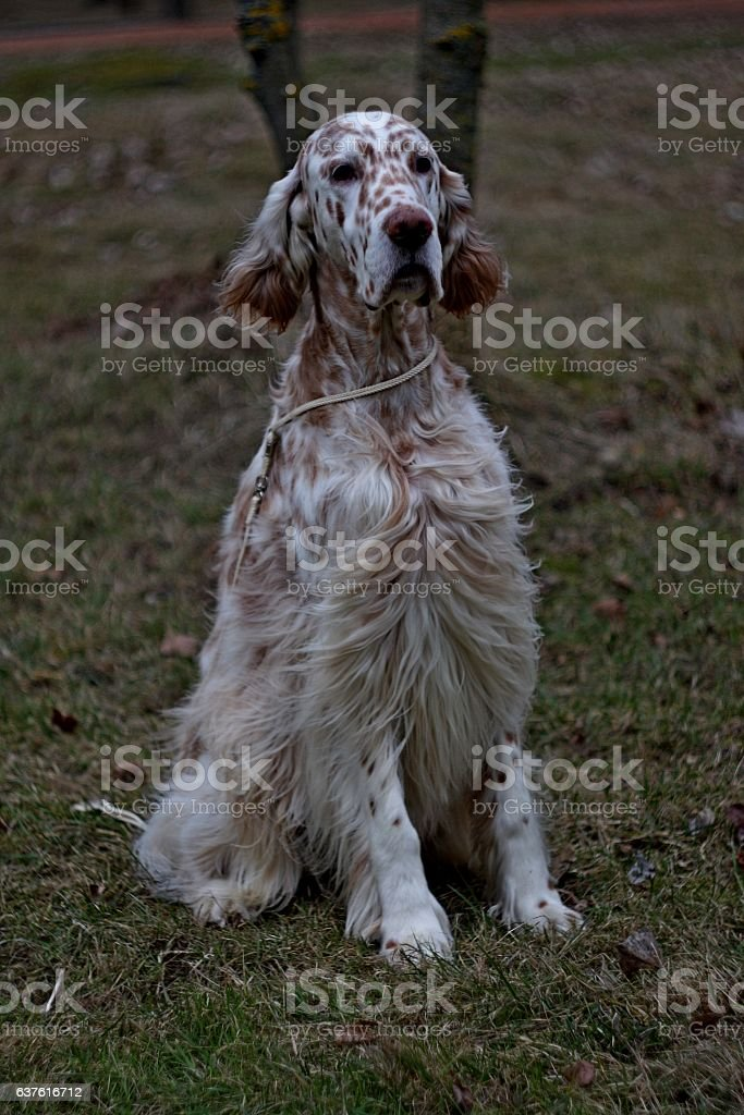Spotty brown and white dog in dark autumn park stock photo