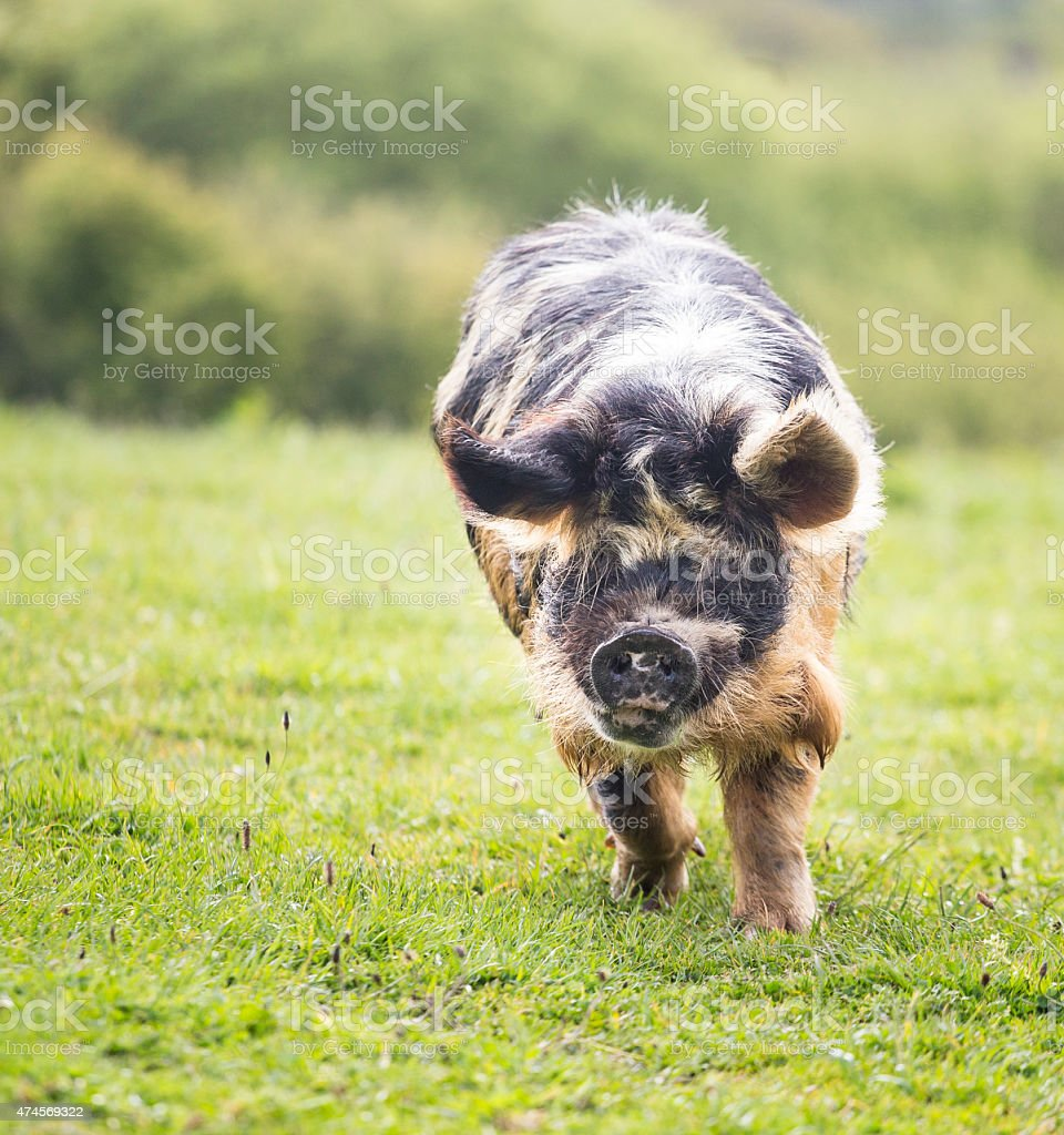 spotty pig in paddock stock photo