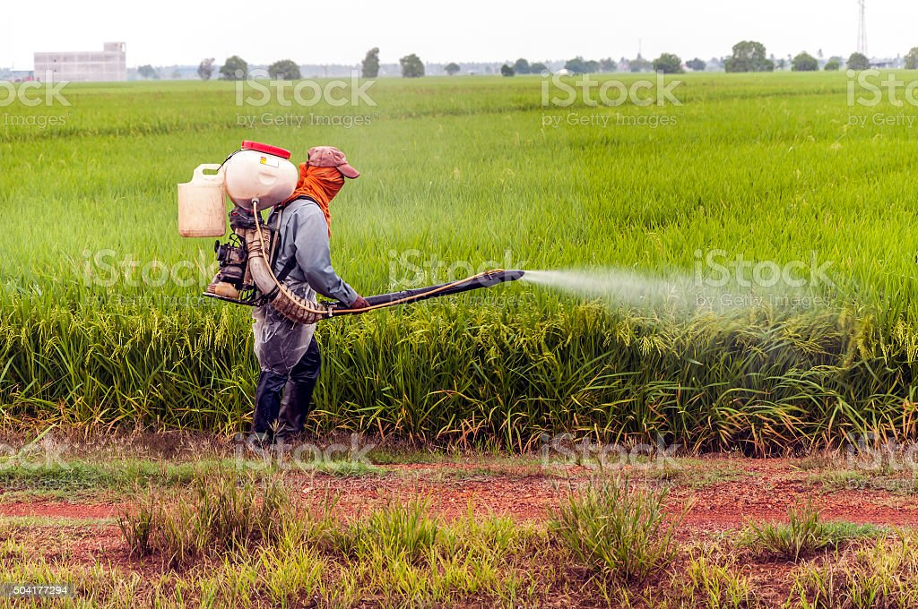 Spray pesticides rice in the morning stock photo