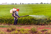 Spray pesticides rice in the morning