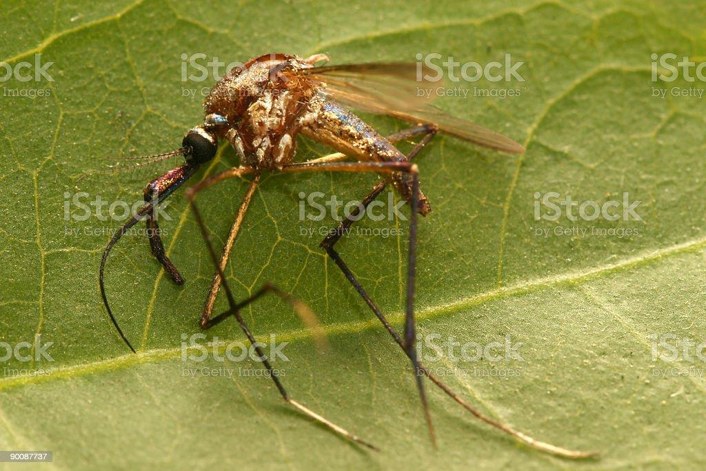 Sprayed Swamp Mosquito (Macro) royalty-free stock photo
