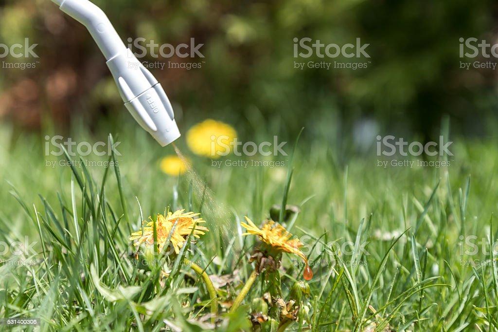 Spraying Herbicide on Dandelion stock photo