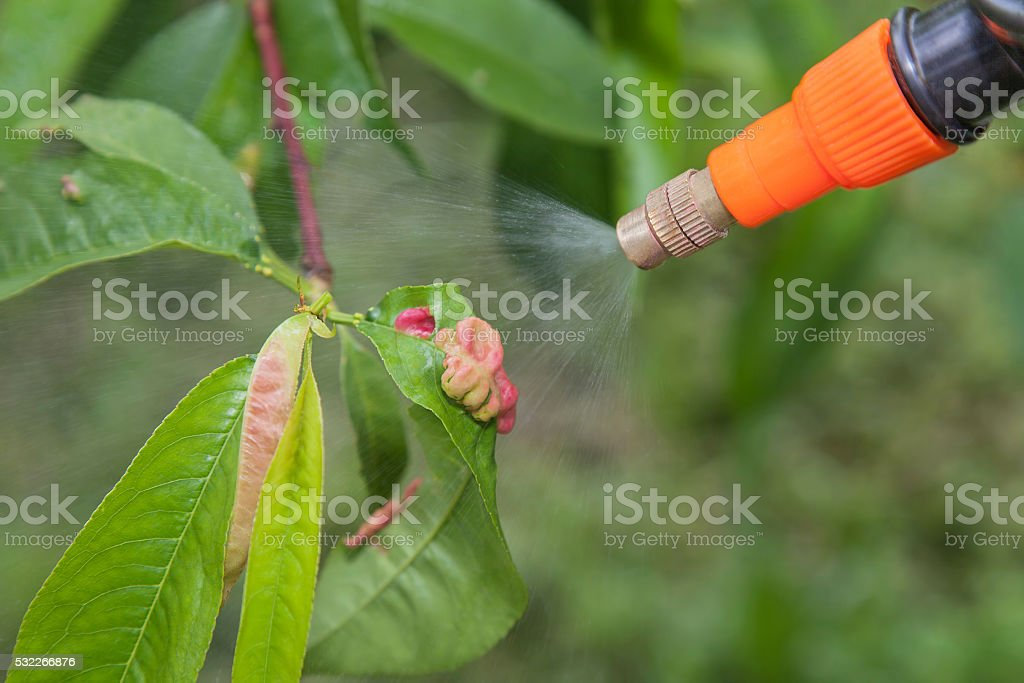 Spraying leaves fruit tree fungicide stock photo