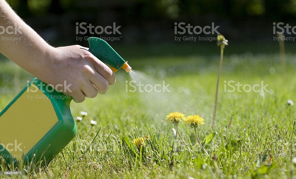Spraying the dandelions stock photo