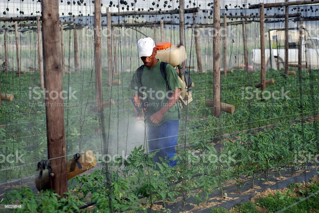Spraying Tomatoe Plants royalty-free stock photo