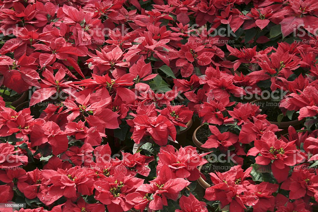 Spread of Red royalty-free stock photo