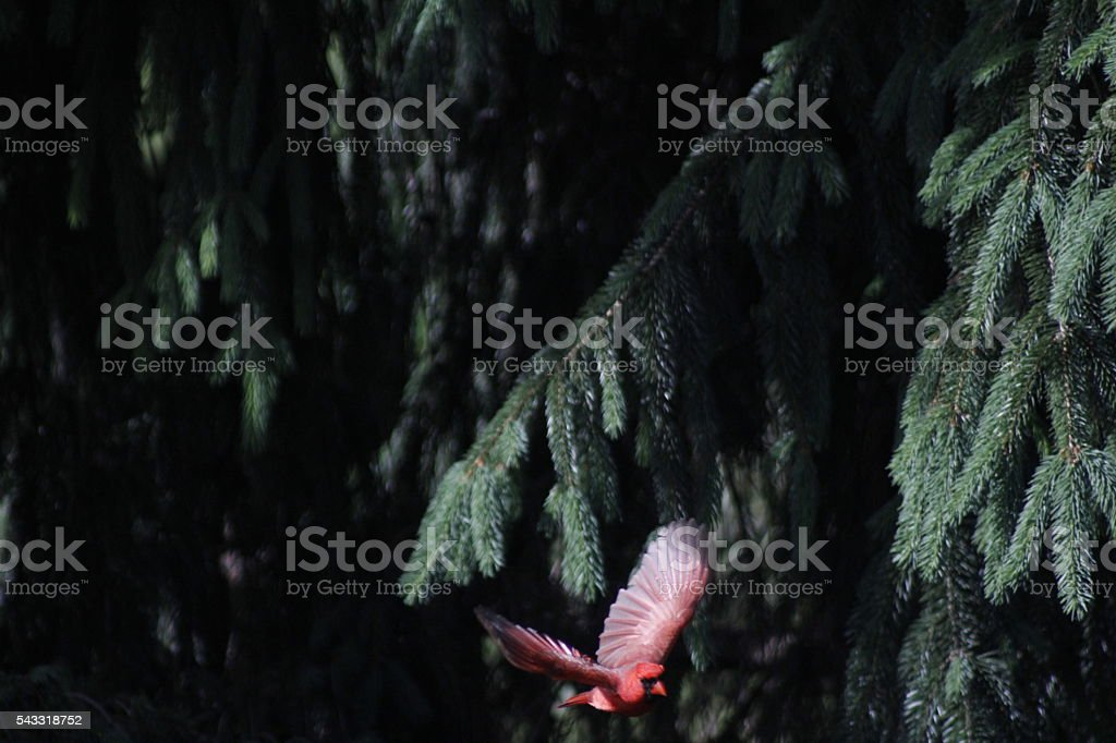 Spread Wing Cardinal stock photo