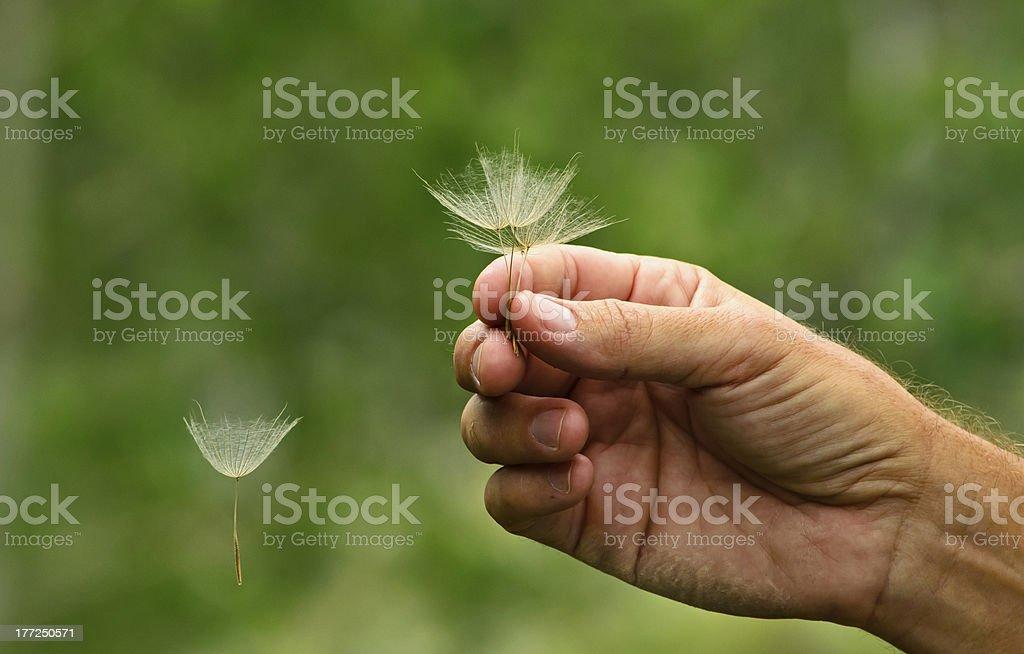 Spreading Dandelion Seeds royalty-free stock photo