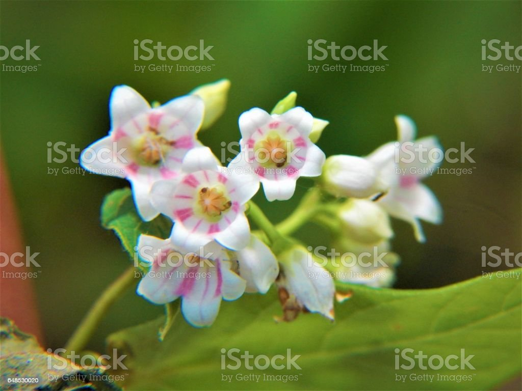 Spreading Dogbane Flowers in Bloom stock photo
