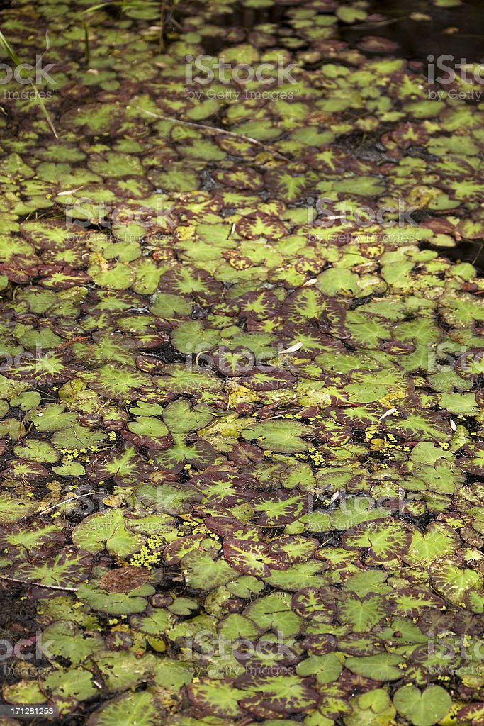 Spreading nymphaea royalty-free stock photo