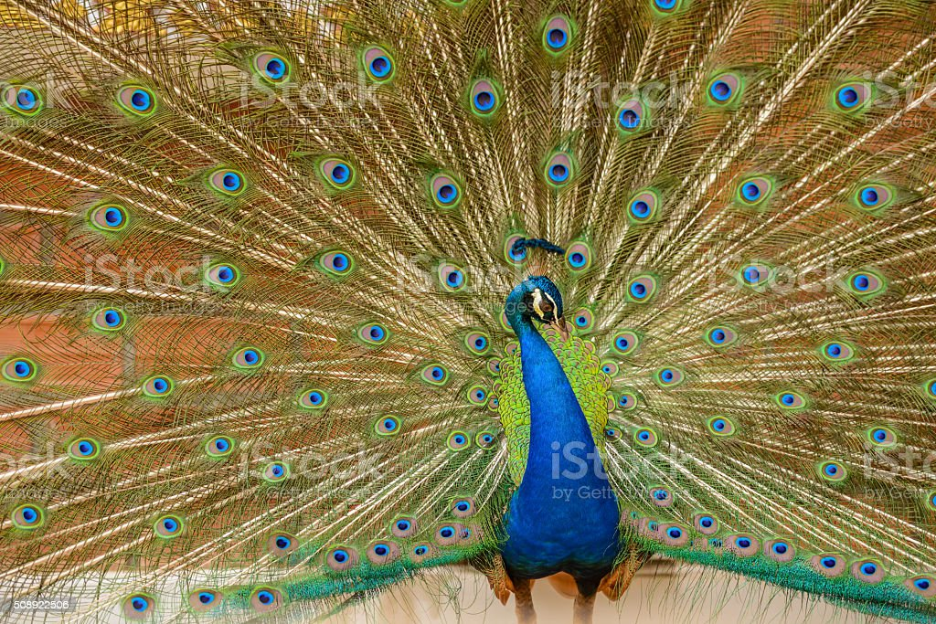 Spreading tail-feathers peacock stock photo