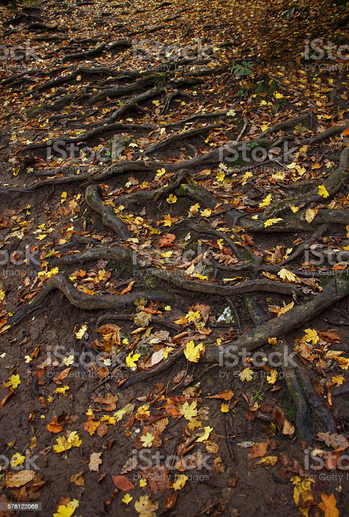Spreading tree root system and fallen leaves on the ground. stock photo