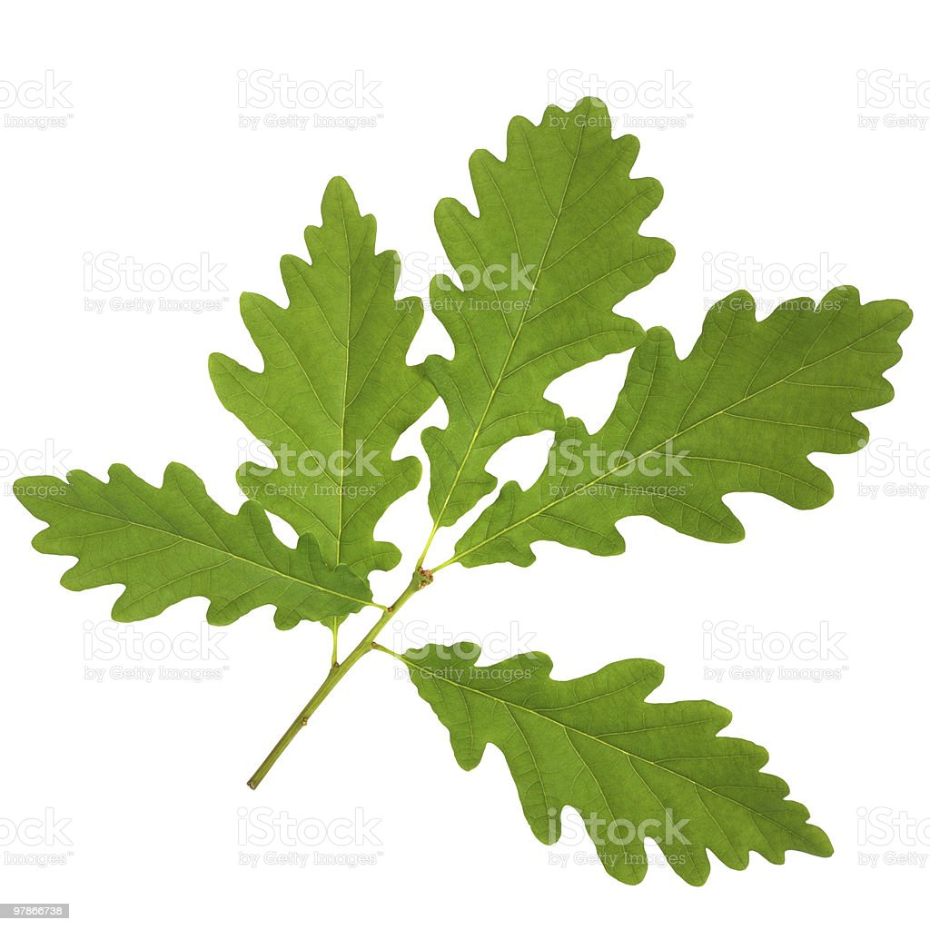 Sprig from an oak leaf on a white background stock photo