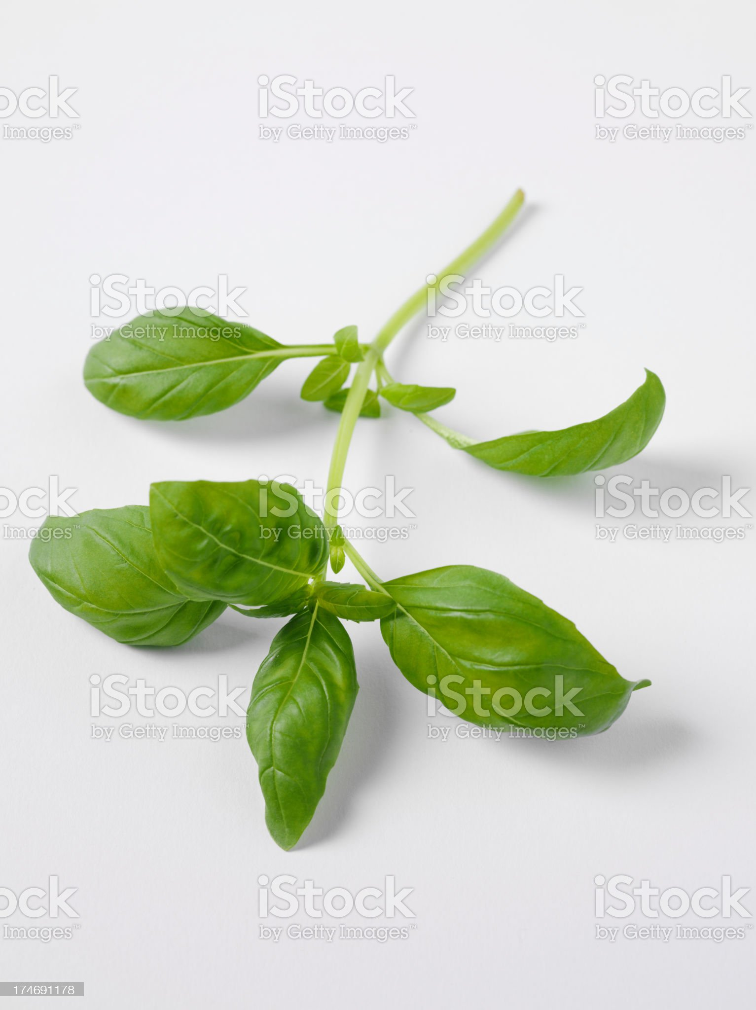 Sprig of Basil Leaves royalty-free stock photo