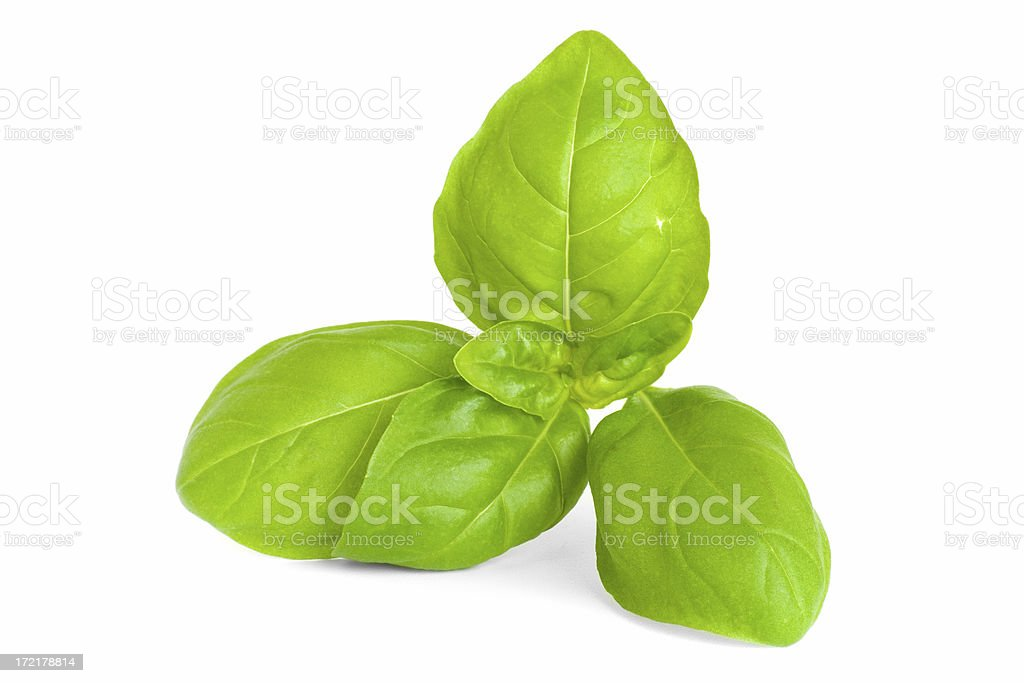 Sprig of Basil stock photo