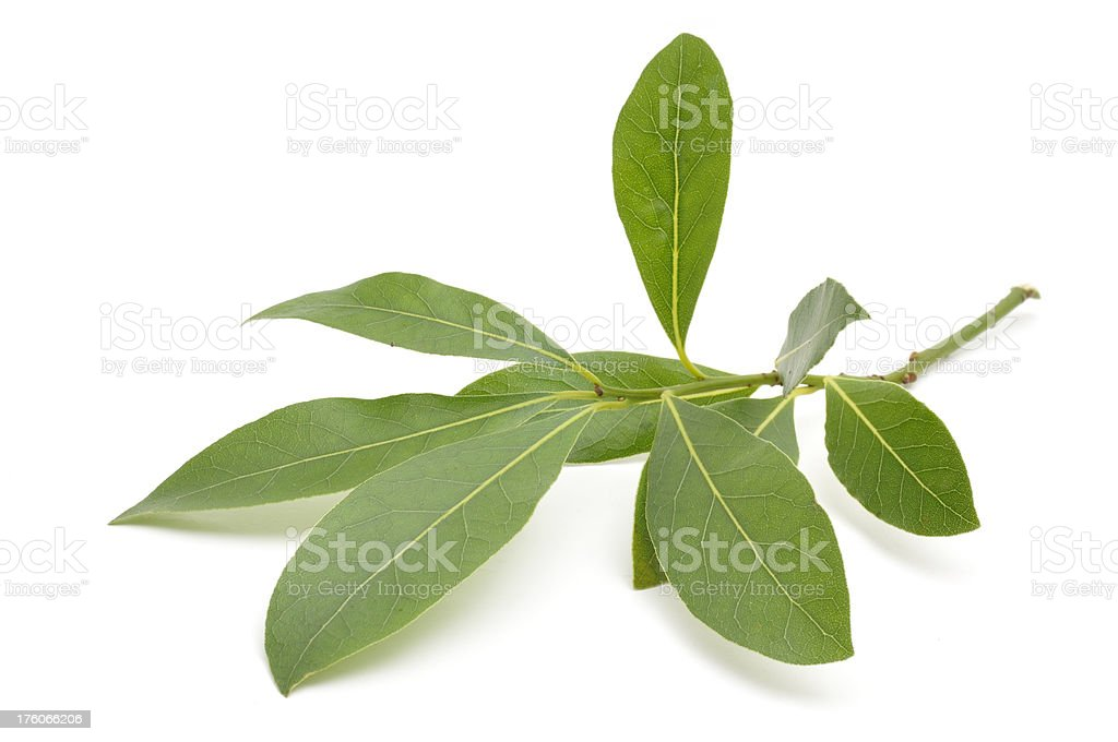 Sprig of Bay Leaves stock photo