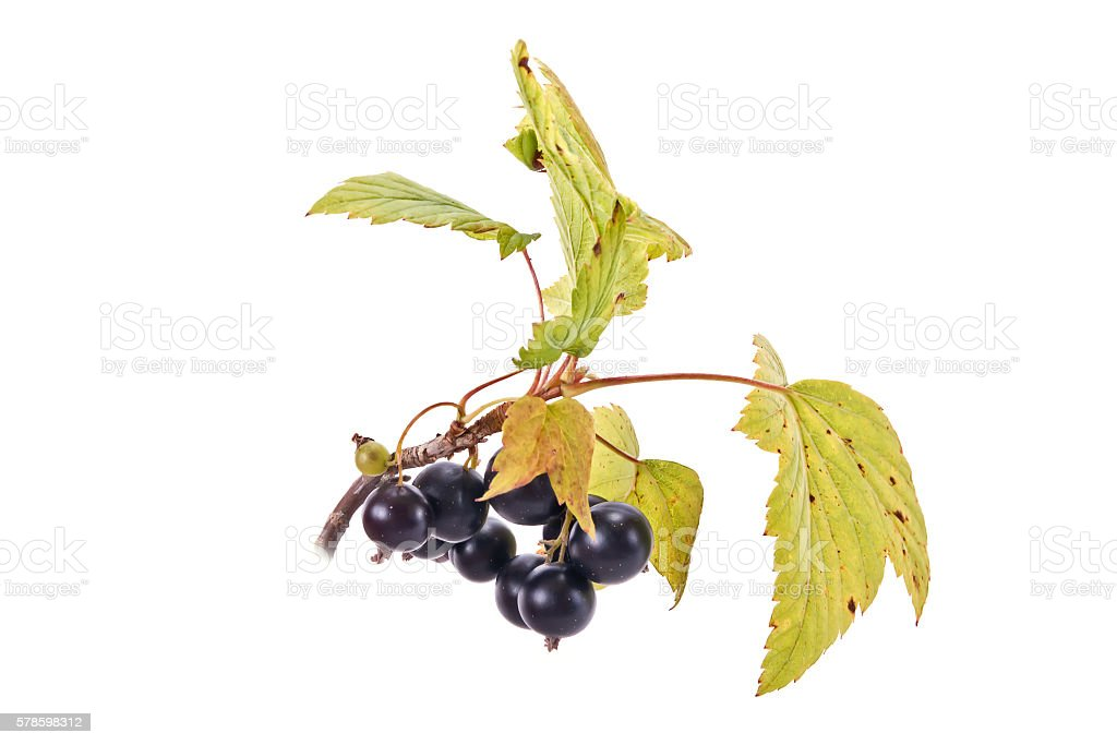 Sprig of black currant with leaves stock photo