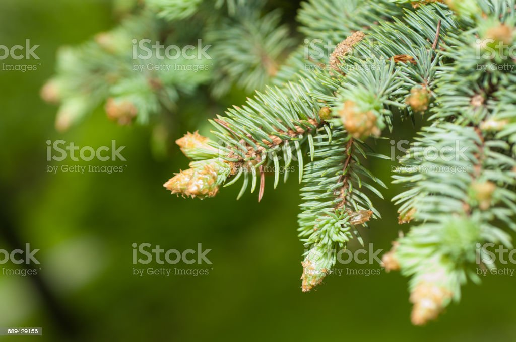 sprig of blue spruce in spring stock photo