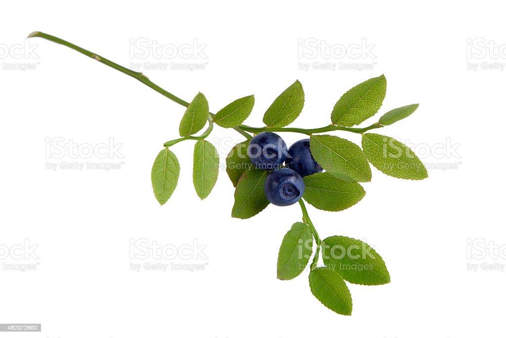 Sprig of blueberries stock photo