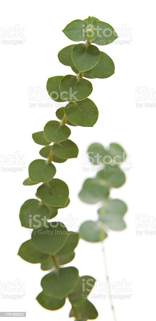 Sprig of Dollar Eucalyptus Leaves, Isolated on White stock photo
