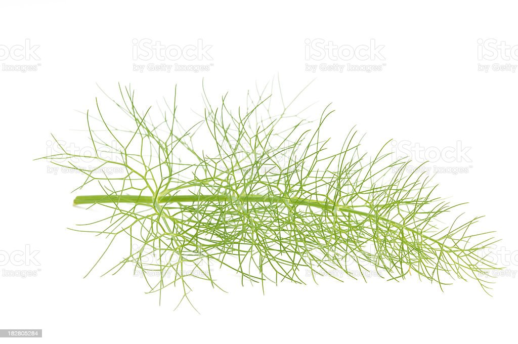Sprig of Fennel royalty-free stock photo