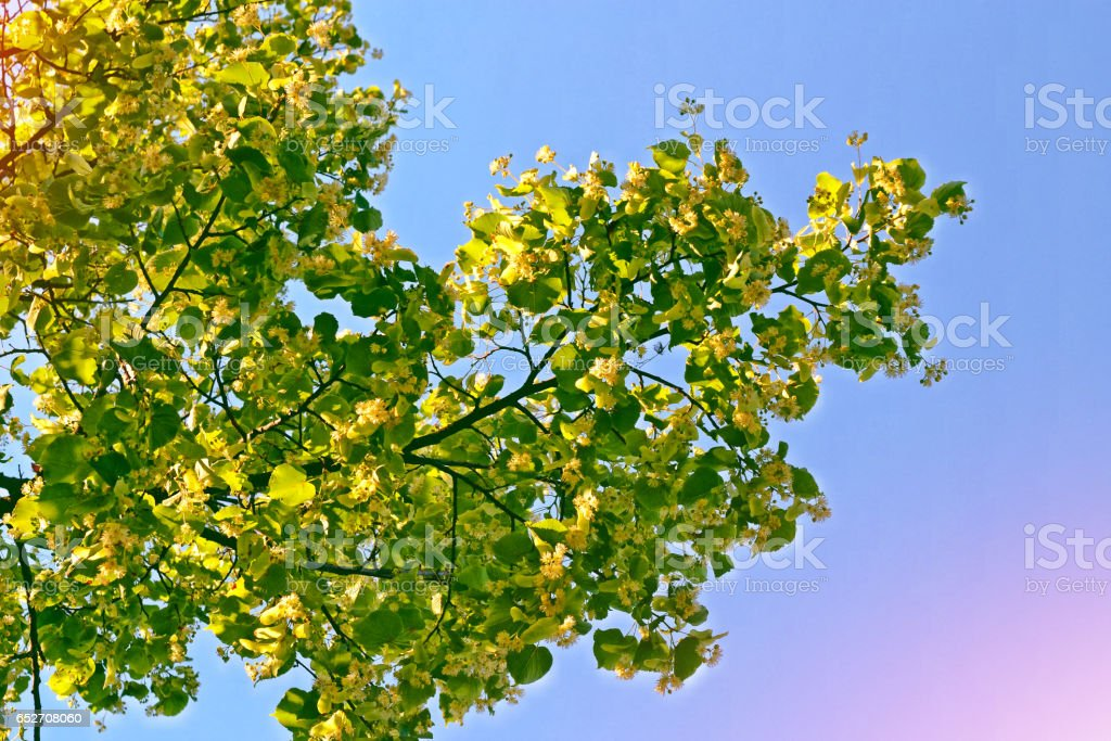 Sprig of flowering linden tree stock photo