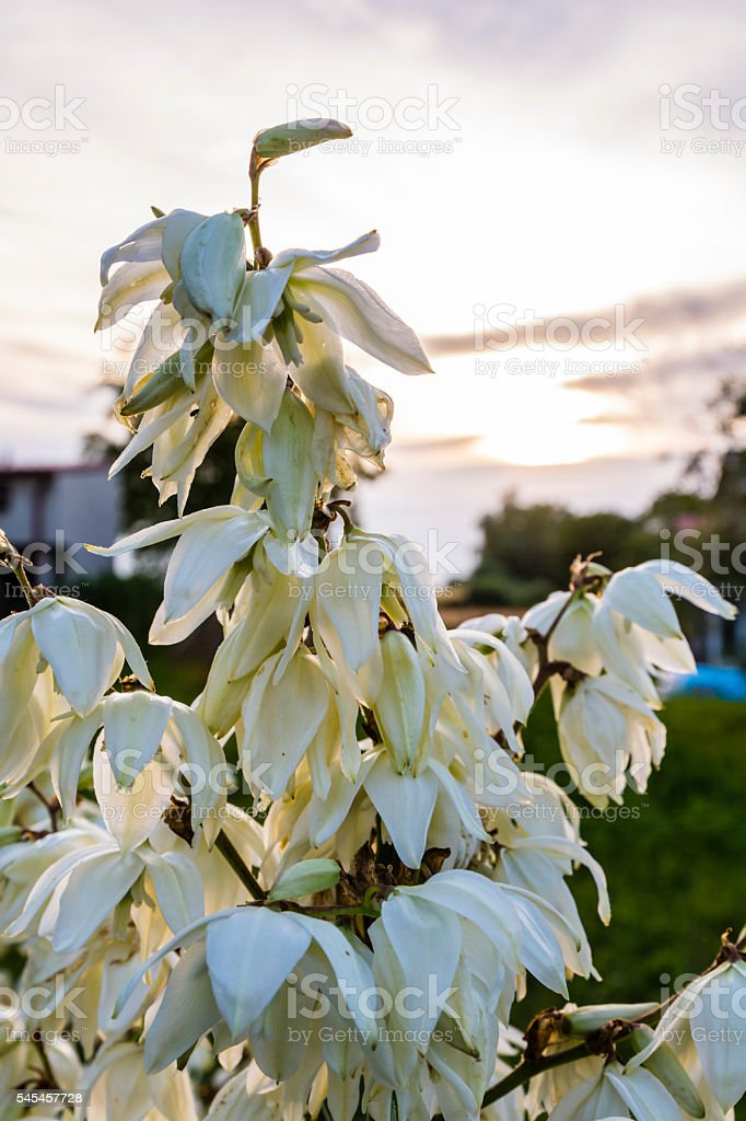 Sprig of flowering yucca flowers. stock photo