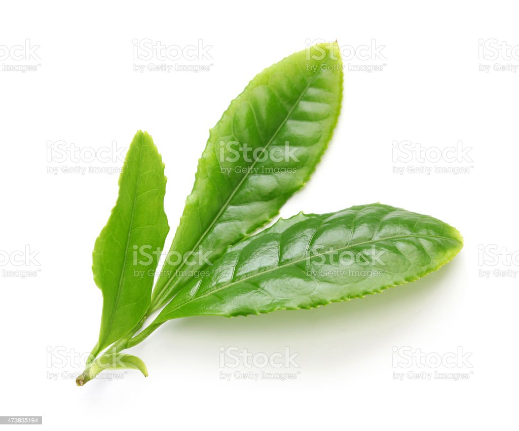 Sprig of fresh Japanese green tea leaves on white background stock photo